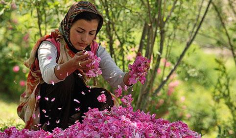 گل محمدی ۰۱۱