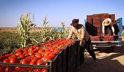 گوجه فرنگی ۰۱۲